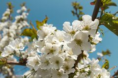 Cherry tree blossoming. branch close up against a blue sky. stock photography