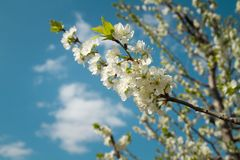 Cherry tree blossoming. branch close up against a blue sky. Image for blog stock photos