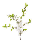 Cherry tree blossoming branch with green small leaves Stock Images