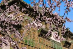 Cherry tree blossoming in china in front of traditional building. royalty free stock photo