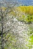 Cherry tree Royalty Free Stock Photo