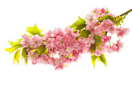 Cherry tree blossoming. Spring sakura flowers on white Royalty Free Stock Photo