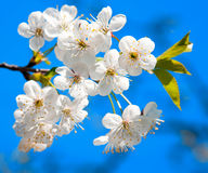 Cherry tree blossoming Royalty Free Stock Image