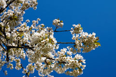 Cherry tree blossoms. Blossoms of cherry tree on blue sky background Royalty Free Stock Photography