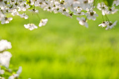 Cherry tree blossoms Royalty Free Stock Images