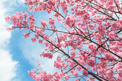 Cherry tree blossoms. Beautiful cherry tree blossoms and blue sky Stock Image