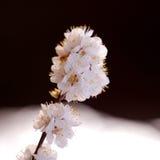 Cherry Tree Blossoms stock image