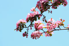 Cherry Tree Blossoms. Branches of cherry tree covered with blossoms Stock Image