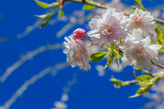 Cherry Tree Blossoms  Against a  Blue Sky. Close-up of cherry tree blossoms blooming.  Deep blue sky in background Stock Photography