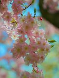 Cherry tree blossoms Royalty Free Stock Photography