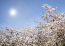 Cherry tree blossoms blooming in the spring Stock Images