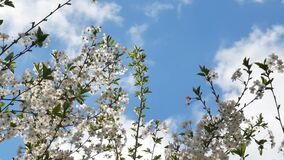 Cherry Tree Blossoms on Blue Sky Background
