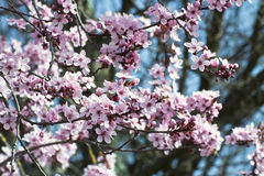 Cherry tree blossoms on blurred background Stock Photos