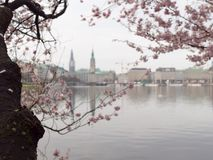 Hamburg,Blooming Cherry Tree at a calm morning at inner Alster Lake and Townhall, Jungfernstieg and St. Nikolai in the background. stock photography