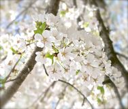 Cherry Tree Blossoms flowers Stock Photography