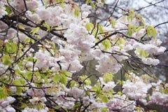 Cherry tree blossoms. Royalty Free Stock Photo