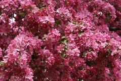 Cherry Tree Blossoms Royalty Free Stock Photo