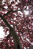 Cherry Tree Blossoms Royalty Free Stock Photos