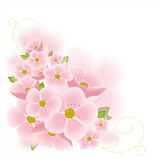 Cherry tree blossoms. Cherry tree blossoms isolated on pink background Royalty Free Stock Photography