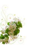 Cherry tree blossoms . Stock Image