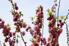 Cherry tree blossoms. Cherry tree blossoms in the park royalty free stock photo