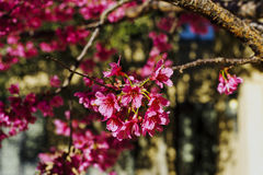 Cherry Tree Blossoms. Photographed to render the background out of focus. These only bloom in the very early spring Royalty Free Stock Photo