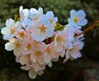 Cherry tree flower blossoms Stock Photo