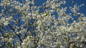 Cherry tree blossoms on sky background and wind stock video