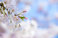 Cherry tree blossoms in spring. Closeup of cherry tree blossoms in spring. Soft dreamy background with copy space Royalty Free Stock Image