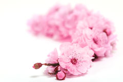 Cherry Tree Blossoms of Spring With Extreme Depth Stock Photo