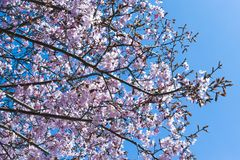 Cherry tree blossoms in spring stock image