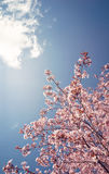 Cherry tree blossoms in the spring Royalty Free Stock Images