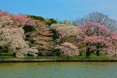 Cherry tree blossoms tidal Basin Washington  DC Royalty Free Stock Image