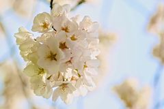 Cherry Tree blossoms Royalty Free Stock Photos