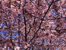 Cherry tree. With blue sky Royalty Free Stock Photos