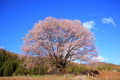 Cherry tree and blue sky Stock Images