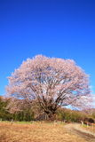 Cherry tree and blue sky Royalty Free Stock Photo