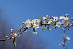 Cherry tree branch Stock Photo