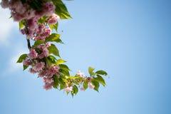 Cherry Tree Branch Fotografia de Stock