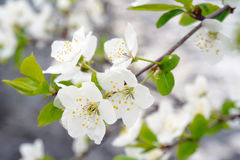 Cherry Tree Branch Stock Afbeeldingen