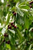 Cherry Tree Branch Stockfotos