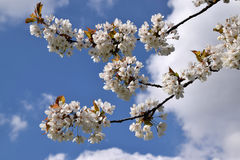 Cherry tree branch blossom against blue sky. Cherry tree branch with pink-white blooms, against the cloudy blue sky Stock Photos