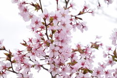 Cherry tree branch blossom. Cherry tree branch with pink-white blooms stock photo