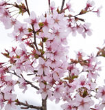 Cherry tree branch blossom. Cherry tree branch with pink-white blooms stock images