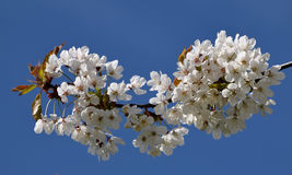 Cherry tree branch blossom. Cherry tree branch with pink-white blooms, against the blue sky stock photo