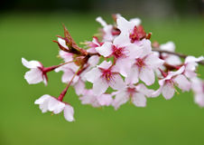 Cherry tree branch blossom Stock Photos