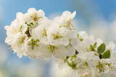 Cherry tree branch. Blossoming cherry tree branch over light-blue background Stock Photography
