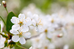 Cherry tree branch in  blur background Stock Image