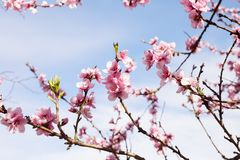 Cherry tree branch bud blossom background as beautiful spring flower blooming season concept stock photography