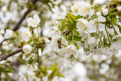 Cherry tree branch bud blossom background as beautiful spring flower blooming season concept. Royalty Free Stock Image